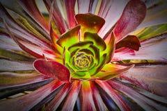 Succulente aeonium Stock Foto
