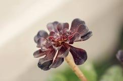 Succulente Aeonium Royalty-vrije Stock Fotografie