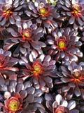 Succulente Aeonium royalty-vrije stock foto's