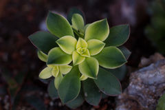 Succulente Aeoniumkiwi stock foto's