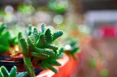 Succulente affascinante della rosetta Le foglie della pianta con le conseguenze spaventose sono denti di un predatore Priorità ba Fotografia Stock