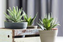 Succulente aloëbrevifolia en slanginstallatie in woonkamer Royalty-vrije Stock Foto's