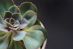 Succulente bloemclose-up Royalty-vrije Stock Foto's