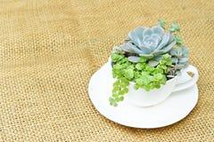 Succulente cactus Stock Fotografie