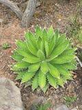 Succulente cactus in dorre omgeving stock foto