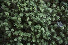 Succulente Cactusinstallatie Royalty-vrije Stock Afbeeldingen