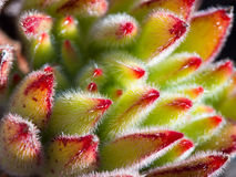 Succulente Close-up/Macro Royalty-vrije Stock Fotografie