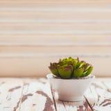 Succulente come decorazione domestica Fotografia Stock Libera da Diritti