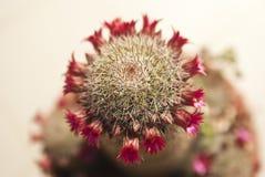 Succulente con il fiore fotografie stock