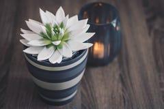 succulente decoratie Stock Fotografie