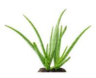 Succulente della pianta di vera dell'aloe con suolo Immagini Stock