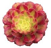 Succulente di Arboreum Variegata di aeonium Fotografie Stock