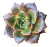Succulente di Echeveria Chinesis Fotografia Stock Libera da Diritti
