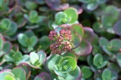 Succulente di fioritura Fotografia Stock Libera da Diritti