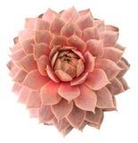 Succulente di Supervivum Fotografia Stock Libera da Diritti