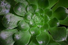 Succulente di undulatum di aeonium Primo piano della pianta succulente verde Colpo orizzontalmente incorniciato Immagine Stock