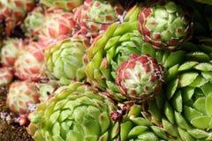 Succulente dichte omhooggaand van Sempervivum (Kippen en Kuikens) Stock Foto