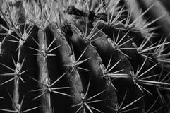 Succulente-echinocactus Immagine Stock Libera da Diritti