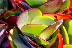 Succulente Flapjack Stock Afbeelding