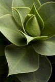 Succulente installatie Royalty-vrije Stock Afbeelding