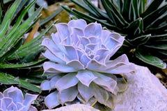Succulente installatie Stock Foto's