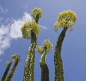 Succulente installatie in bloesem stock afbeelding