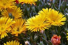 Succulente installatie Goudhoudende Lampranthus stock afbeeldingen