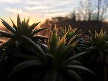 Succulente installatie in zonsondergang stock afbeelding
