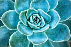 Succulente installatiebladeren stock afbeelding
