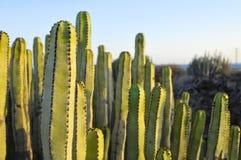 Succulente Installatiecactus op de Droge Woestijn Royalty-vrije Stock Foto's