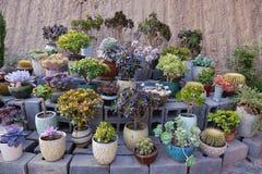Succulente installaties Stock Foto