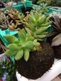 Succulente installaties Stock Foto's