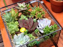 Succulente installaties royalty-vrije stock foto