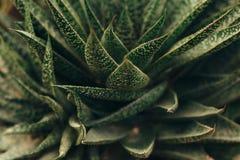 Succulente installaties die hoogste mening kweken Stock Afbeeldingen