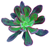 Succulente isolato Fotografia Stock