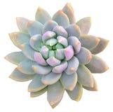 Succulente isolato Fotografie Stock Libere da Diritti