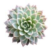 Succulente isolato Fotografia Stock Libera da Diritti