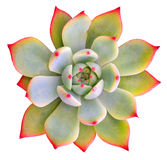 Succulente isolato Fotografie Stock