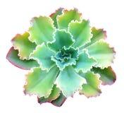 Succulente isolato Immagine Stock