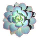 Succulente isolato Immagini Stock Libere da Diritti