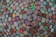 Succulente lithops stock afbeeldingen