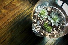 Succulente per la decorazione Fotografia Stock Libera da Diritti