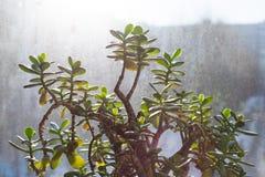 Succulente - pianta della giada di ovata della crassula, pianta di soldi con il fondo della finestra immagine stock