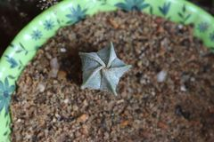 Succulente ster stock foto