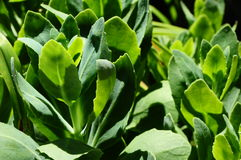 Succulente succulentus Stock Afbeeldingen