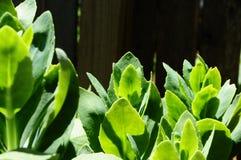 Succulente succulentus Stock Foto's