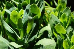 Succulente succulentus Royalty-vrije Stock Fotografie