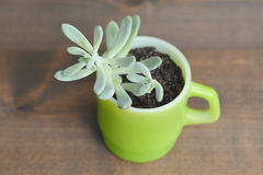 Succulente in tazza d'annata Fotografia Stock Libera da Diritti