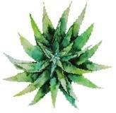 Succulente verde dell'acquerello Fotografia Stock