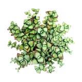 Succulente verde dell'acquerello Immagini Stock